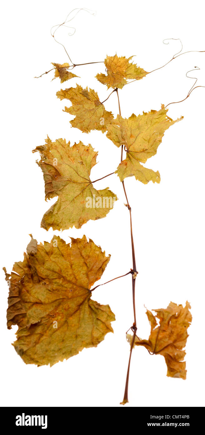 curly dry vine twig isolated on white background - Stock Image