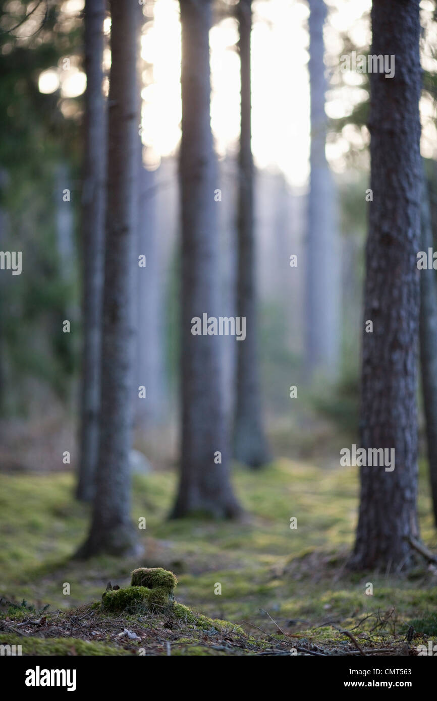 Tree trunks in the woods - Stock Image