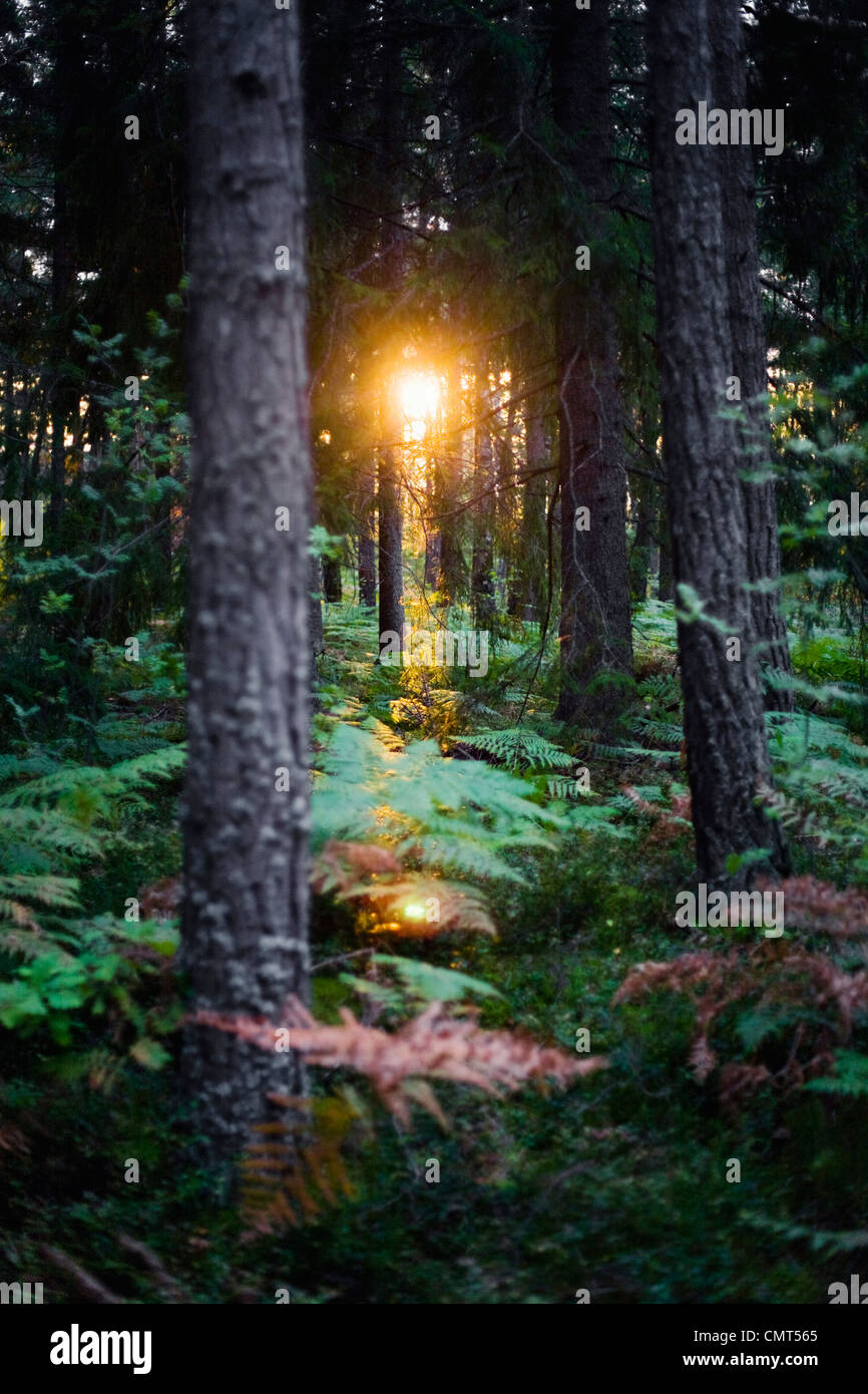Sunset in the woods - Stock Image