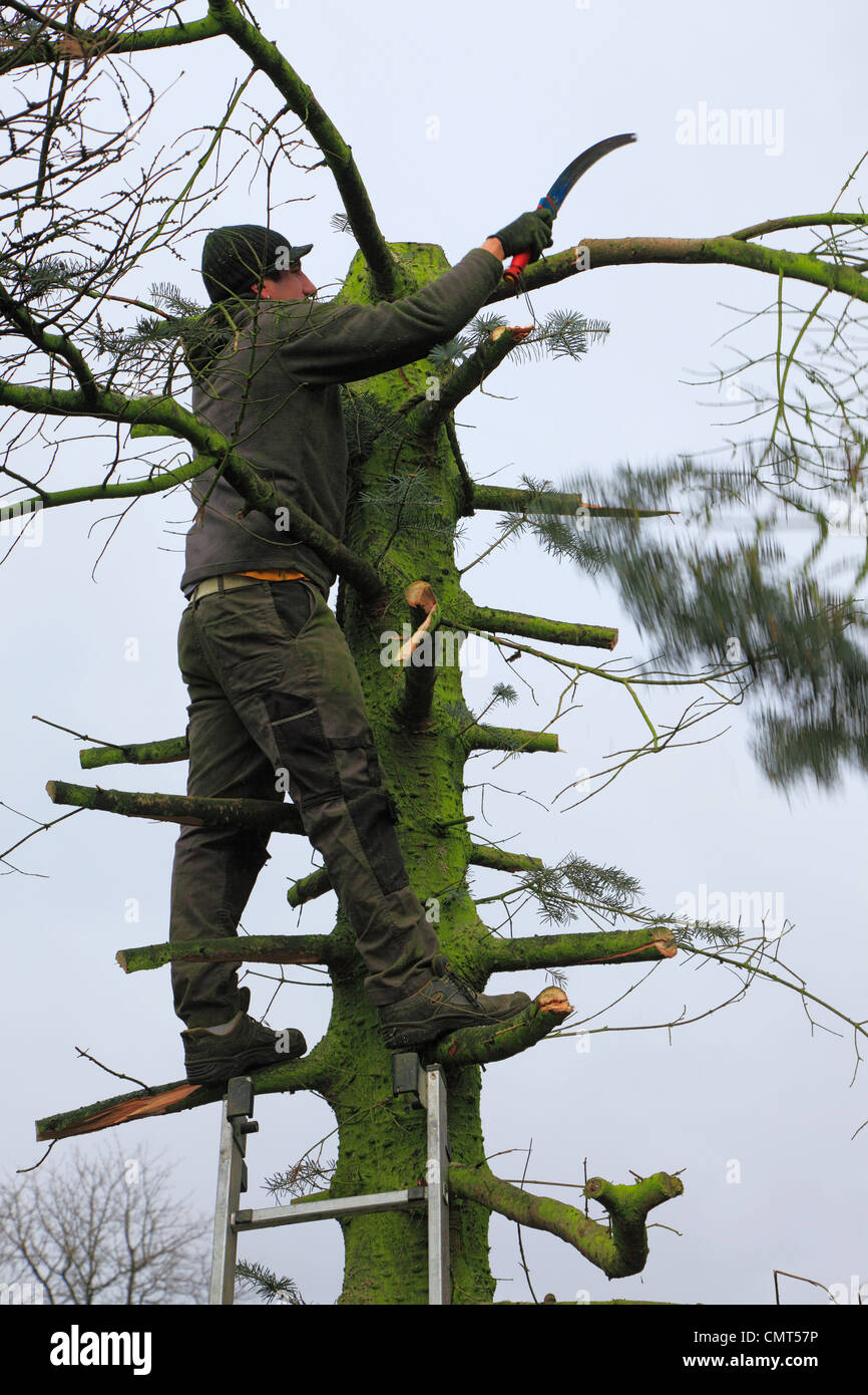 nature, landscape preservation, occupation, gardener stands on a ladder felling a diseased tree, D-Oberhausen-Sterkrade, - Stock Image