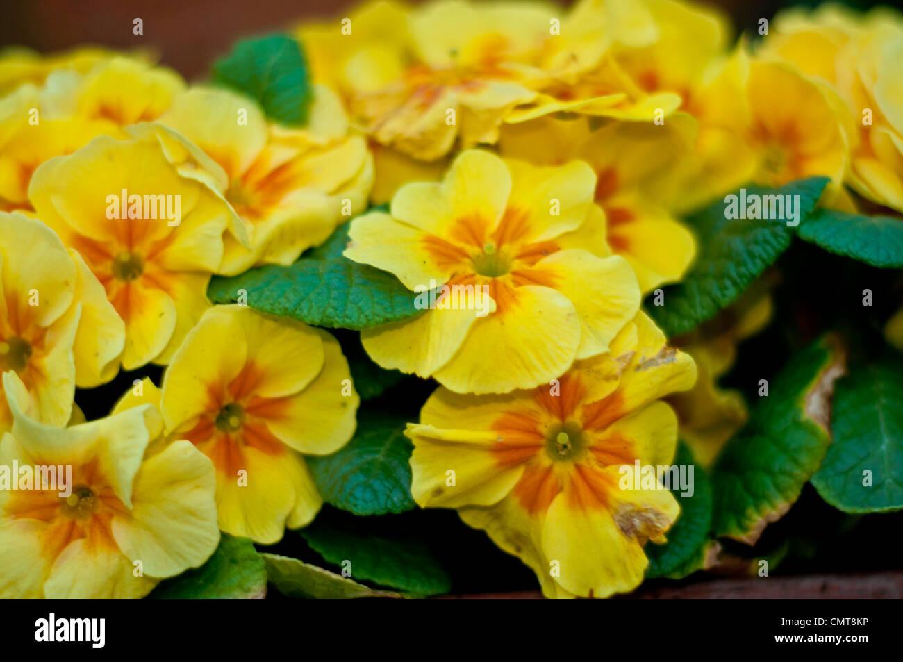 Bright Yellow Primrose Flowers Stock Photo 47247530 Alamy