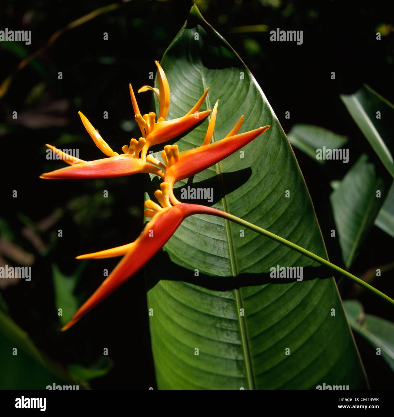 Red and yellow Heliconia Exotic tropical plant Hawaii - Stock Image