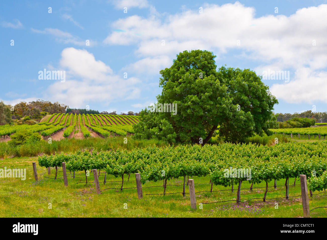 A vineyard in the Clare Valley, South Australia. - Stock Image