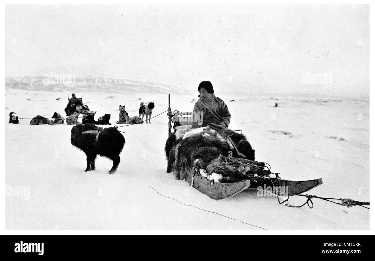 1925 Young Musk Ox tied to Etookashoo's sledge Eskimo - Stock Image