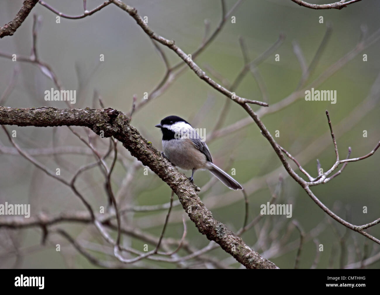 Carolina chickadee perched on branch in forest in Tennessee - Stock Image