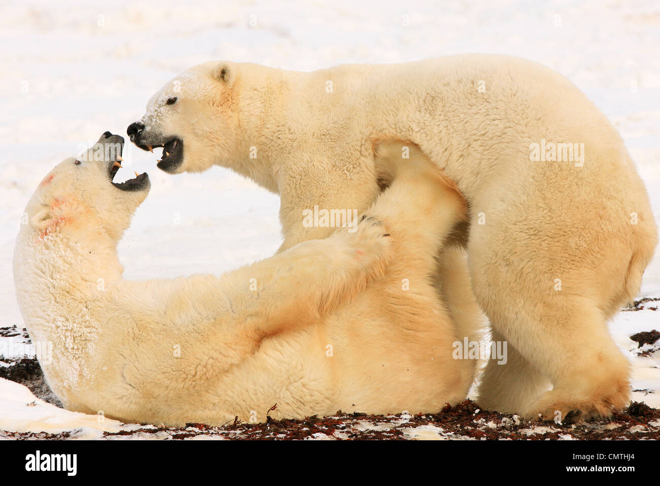 Polar bears sparring, Churchill, Manitoba - Stock Image