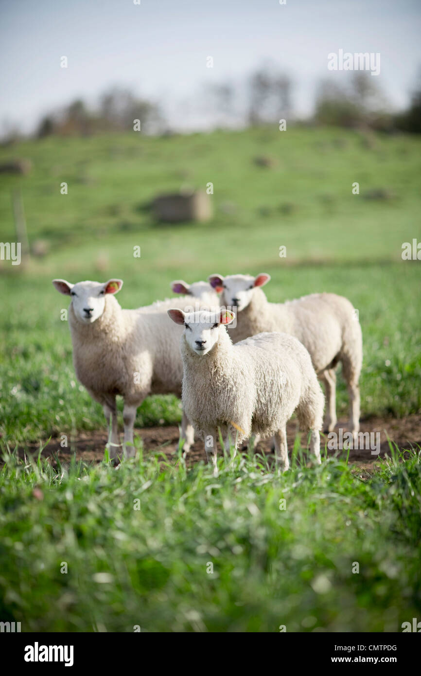 Four sheep at green field - Stock Image