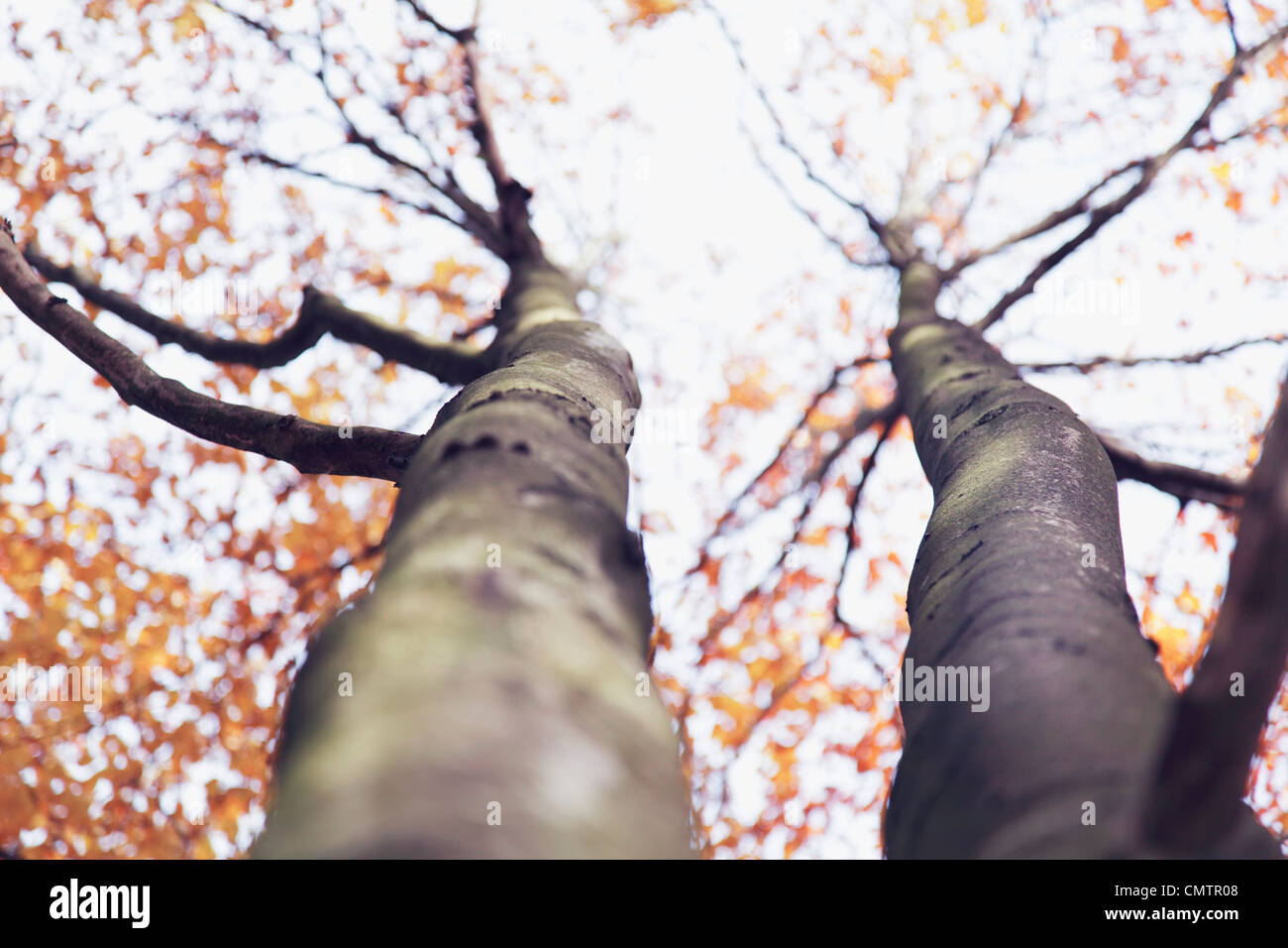 Two tree trunk - Stock Image