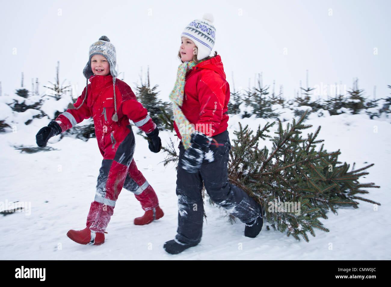 Children pulling Christmas tree - Stock Image