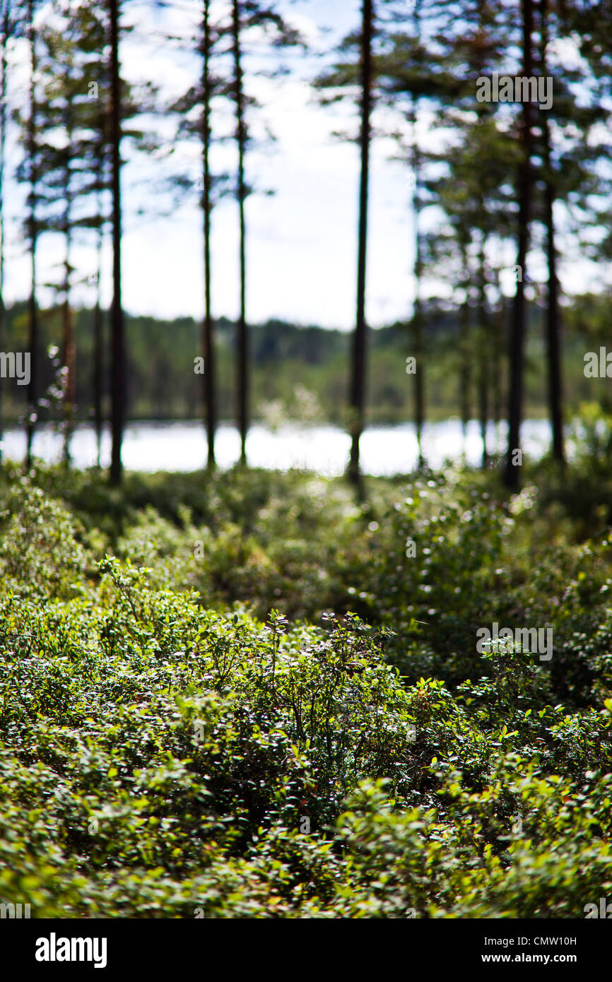 Forest glade in front of lake - Stock Image