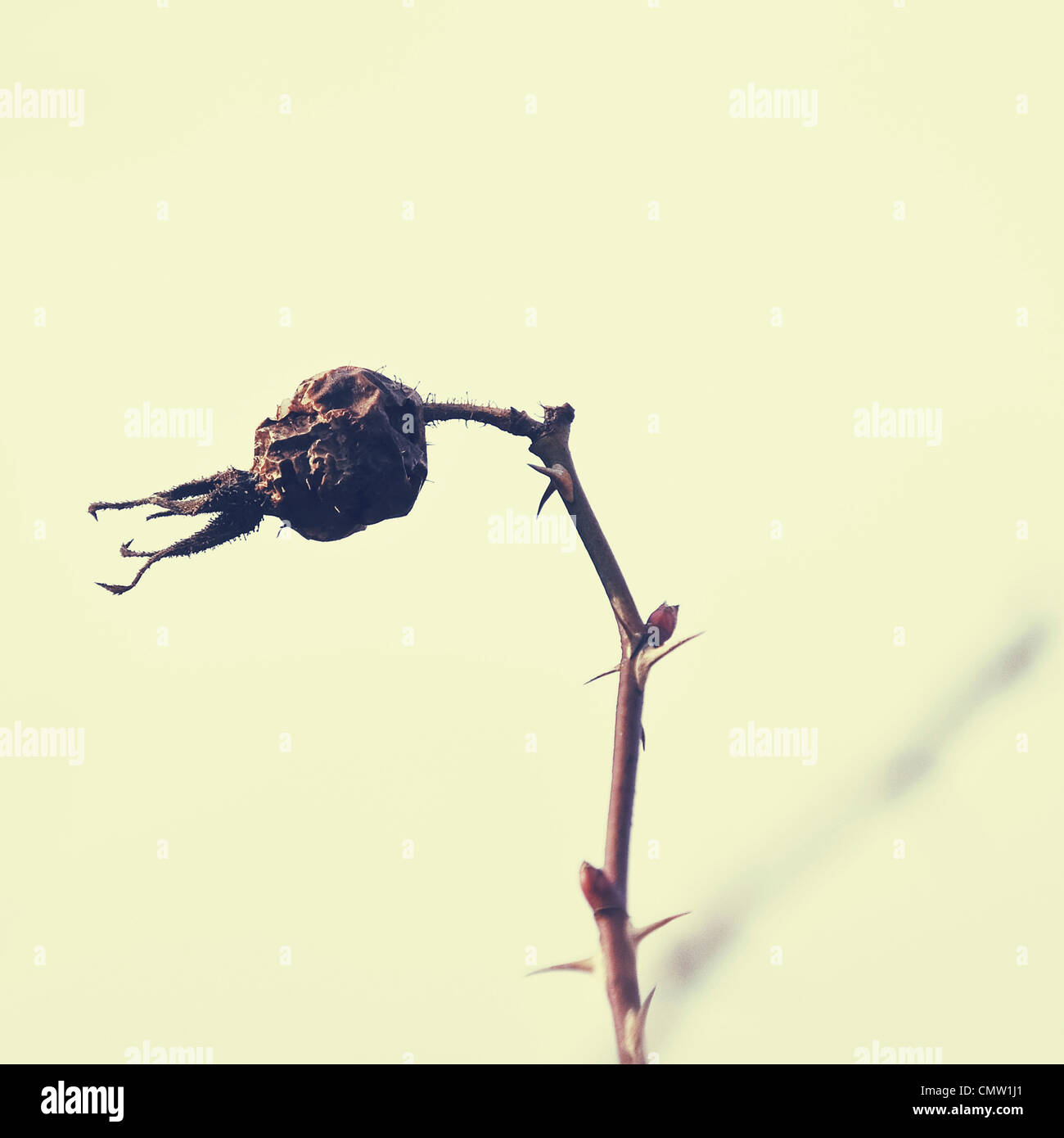 Withered sweet-brier - Stock Image