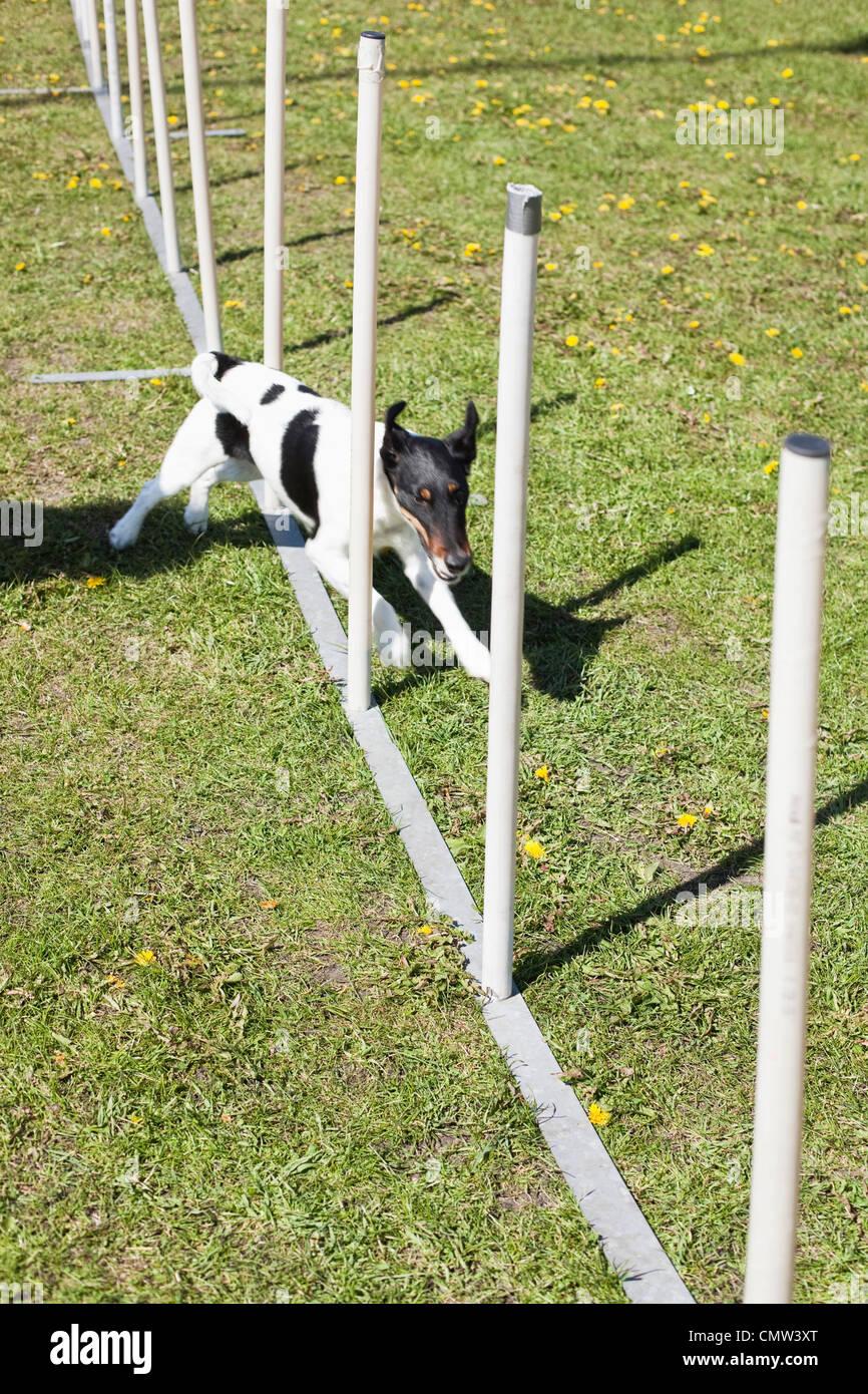 Dog running through weave poles - Stock Image