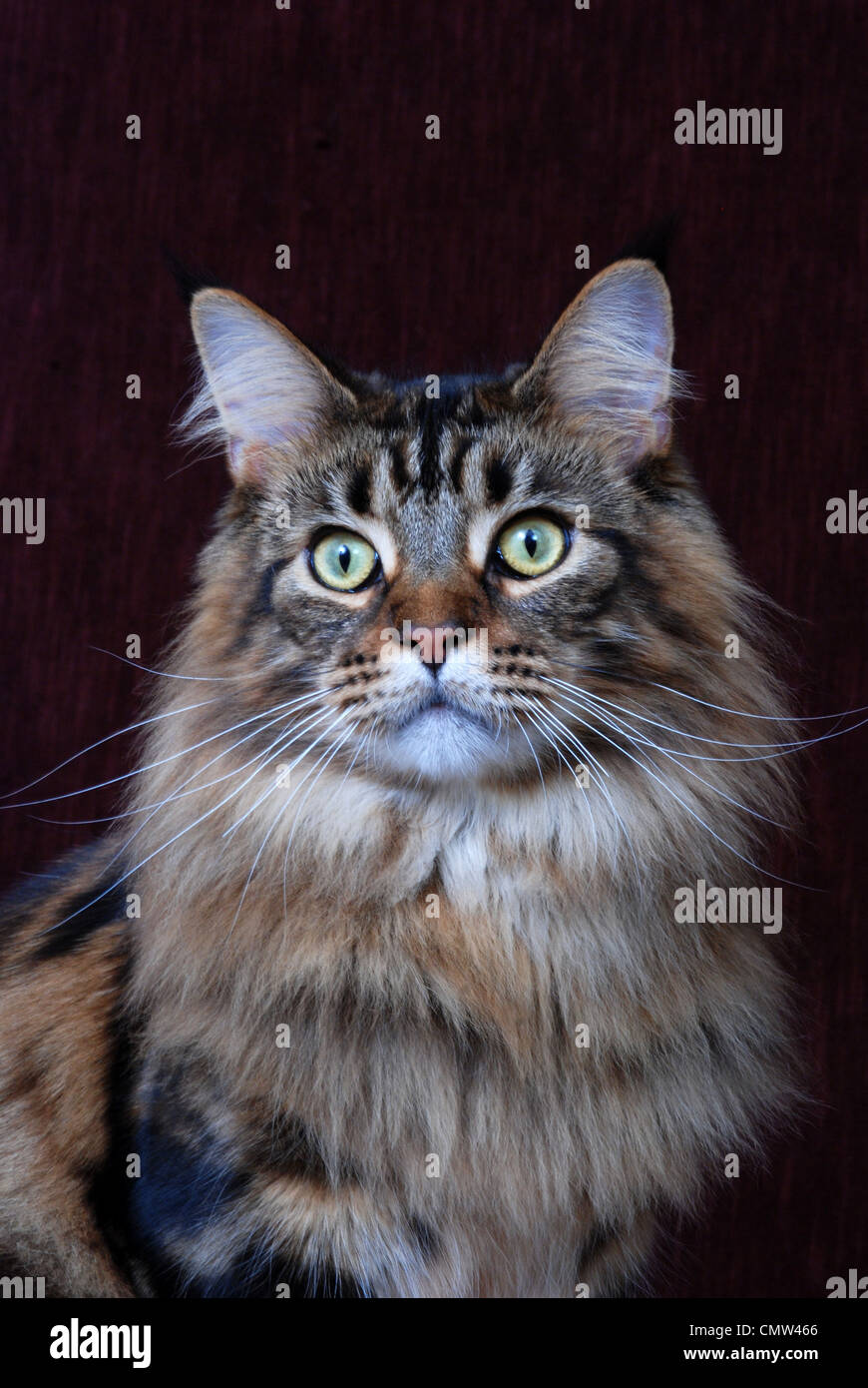 How Long To Maine Coon Cats Live