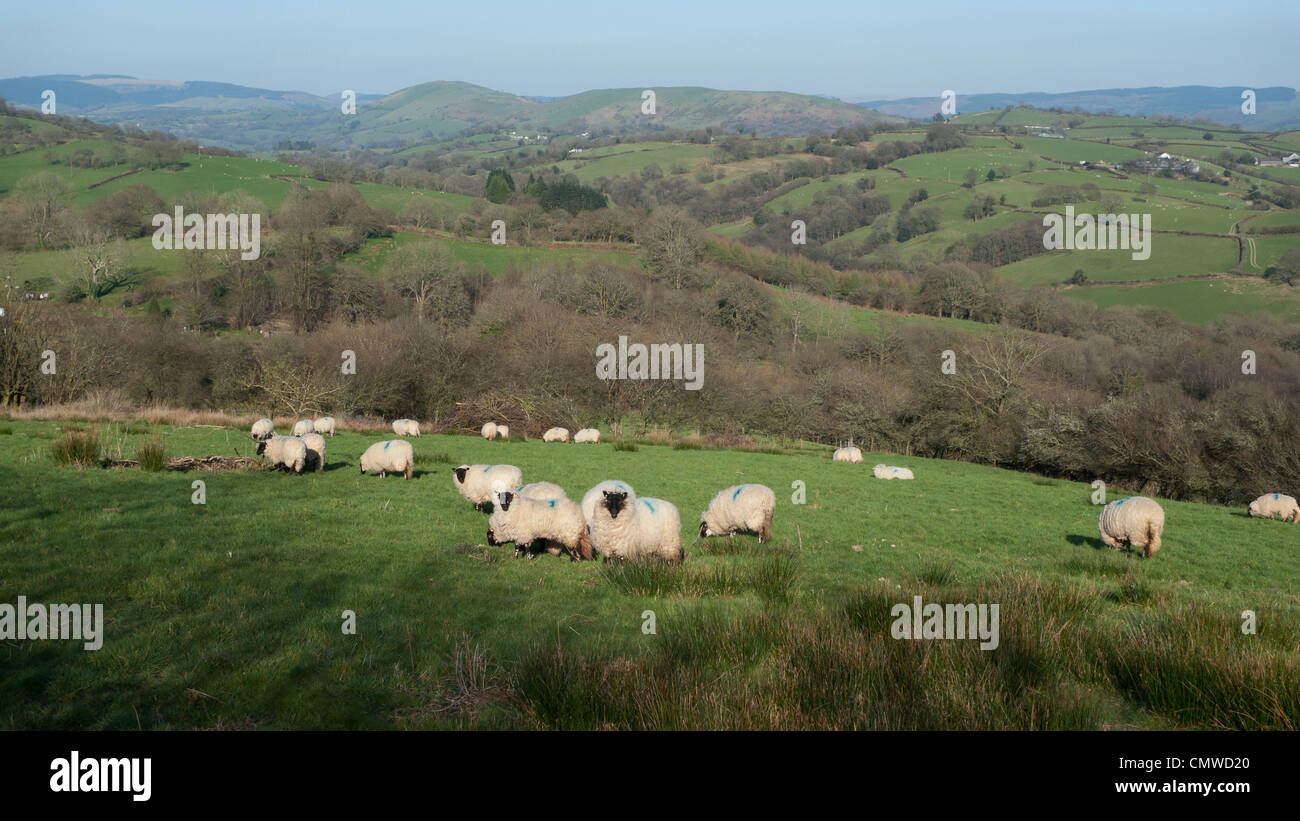 Sheep grazing in early spring near Llandovery Carmarthenshire Wales March 2012 - Stock Image