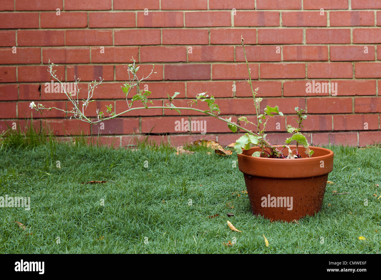 Radish plant in terracotta pot that has bolted and gone to seed to produce edible pods. - Stock Image