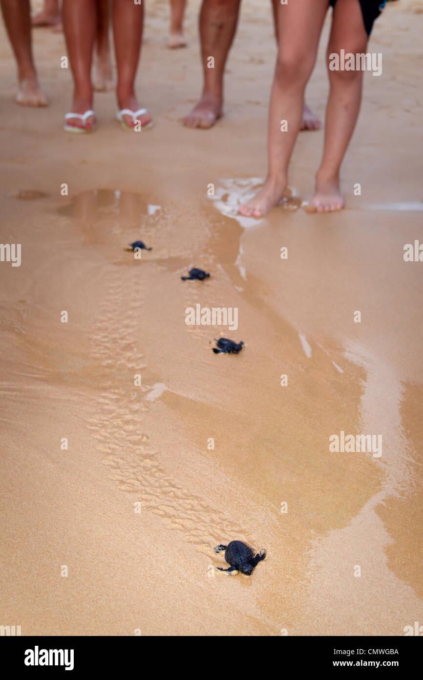 Sri Lanka - Koggala beach, village near Galle, young turtles hatchery realised into the ocean Stock Photo