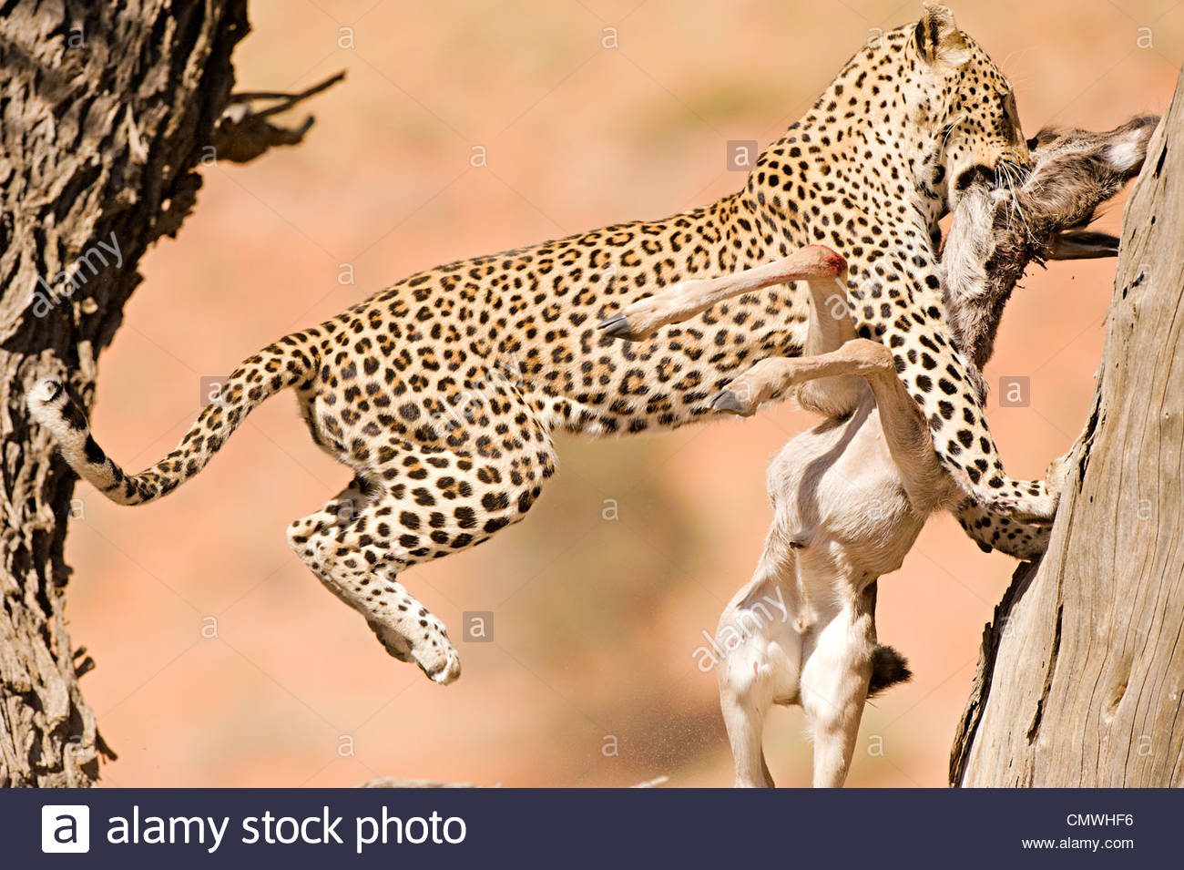 Leopard jumping from 1 tree trunk to an other tree trunk to stash her prey - Stock Image