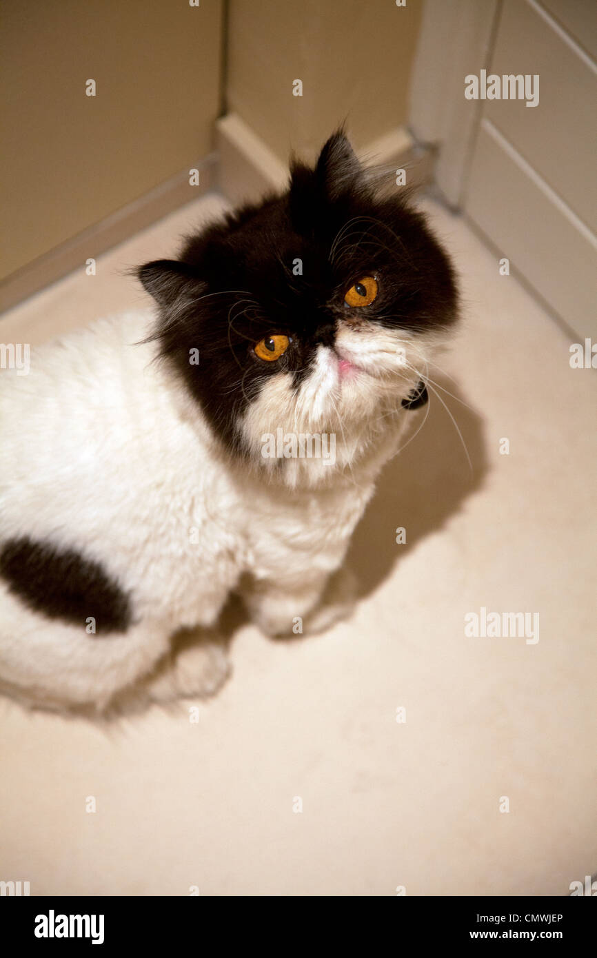 Cat Lion Haircut High Resolution Stock Photography And Images Alamy