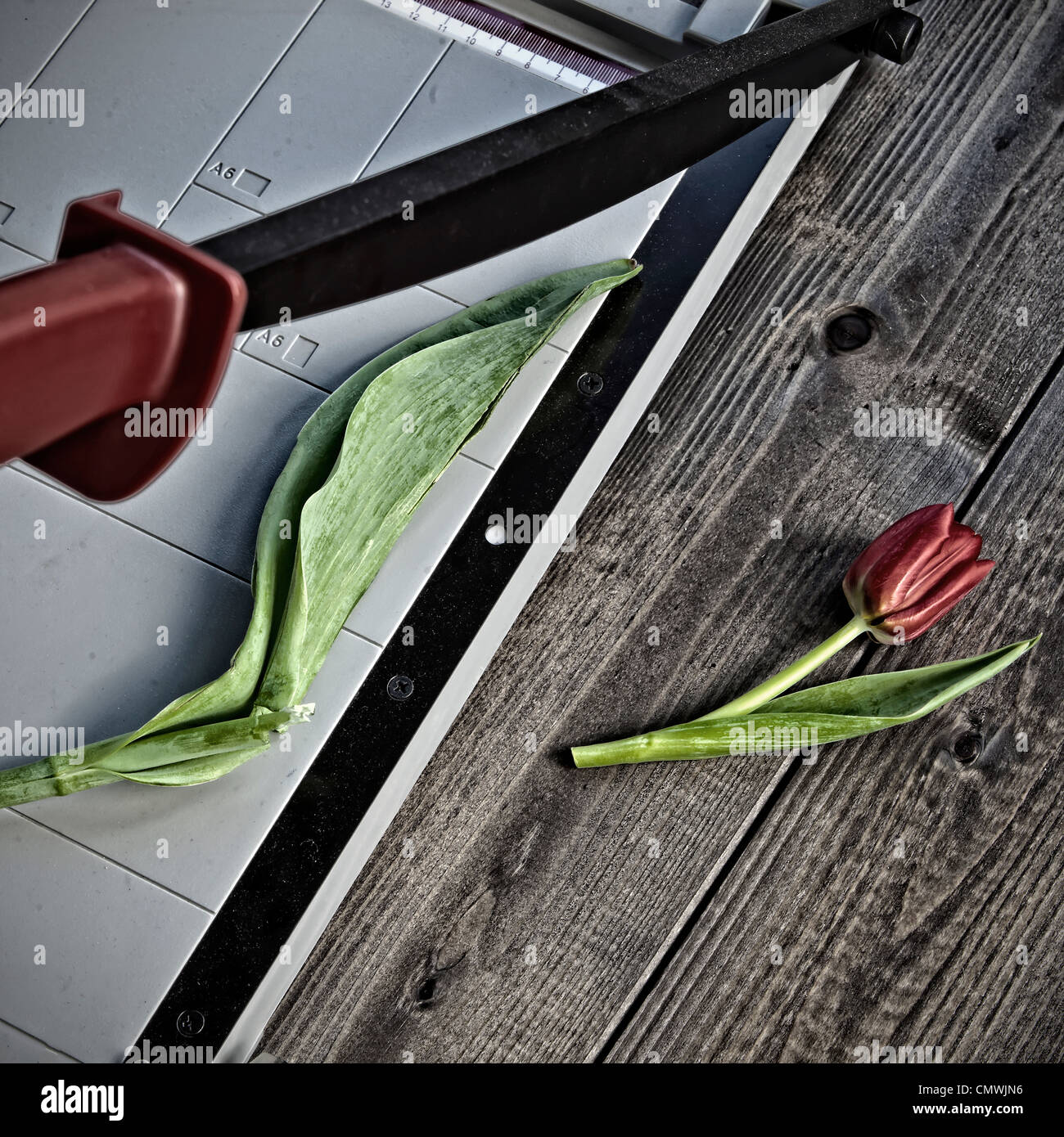 a tulip is severed by a cutting machine - Stock Image