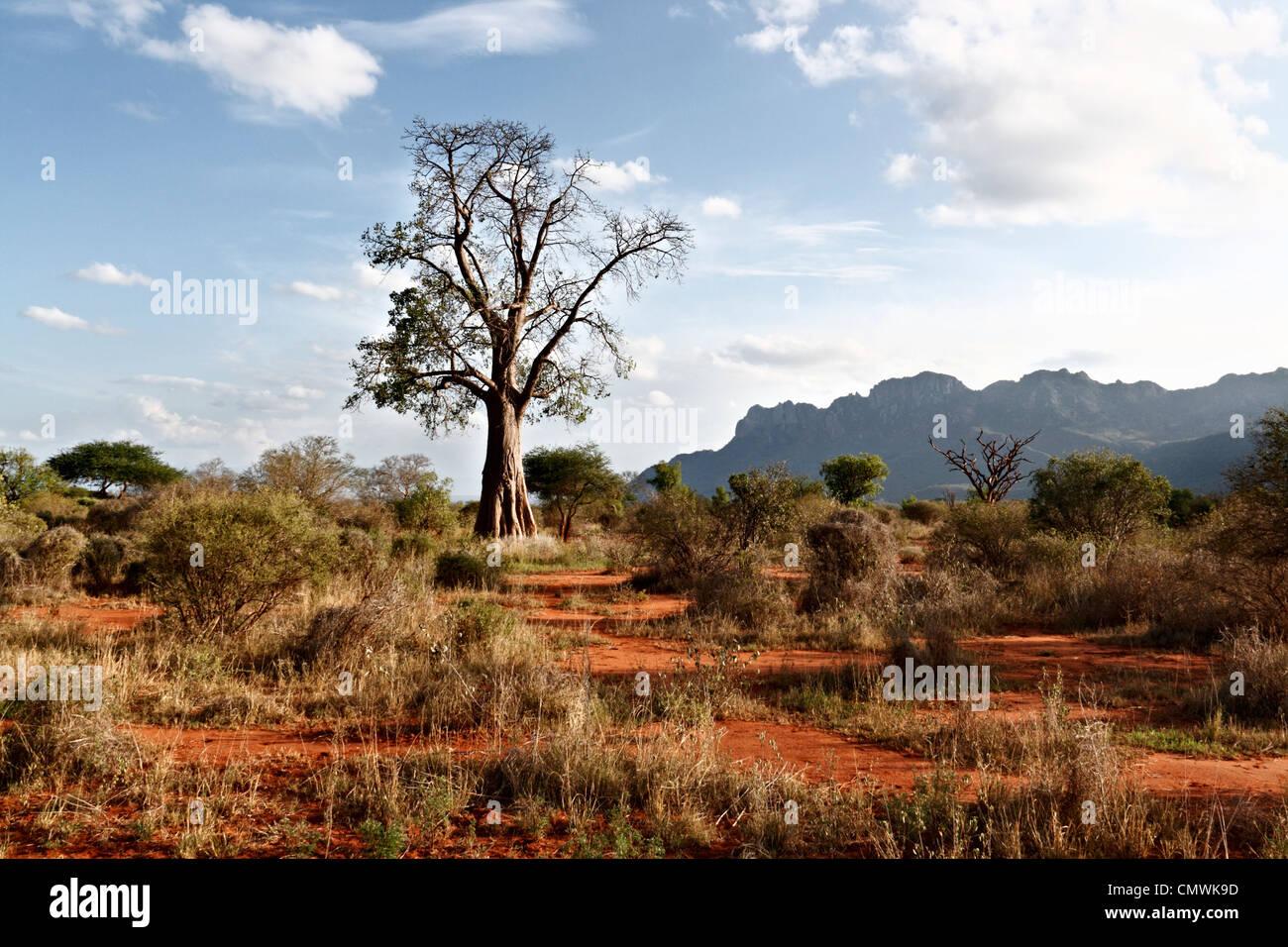Afrikanischer Affenbrotbaum - Stock Image