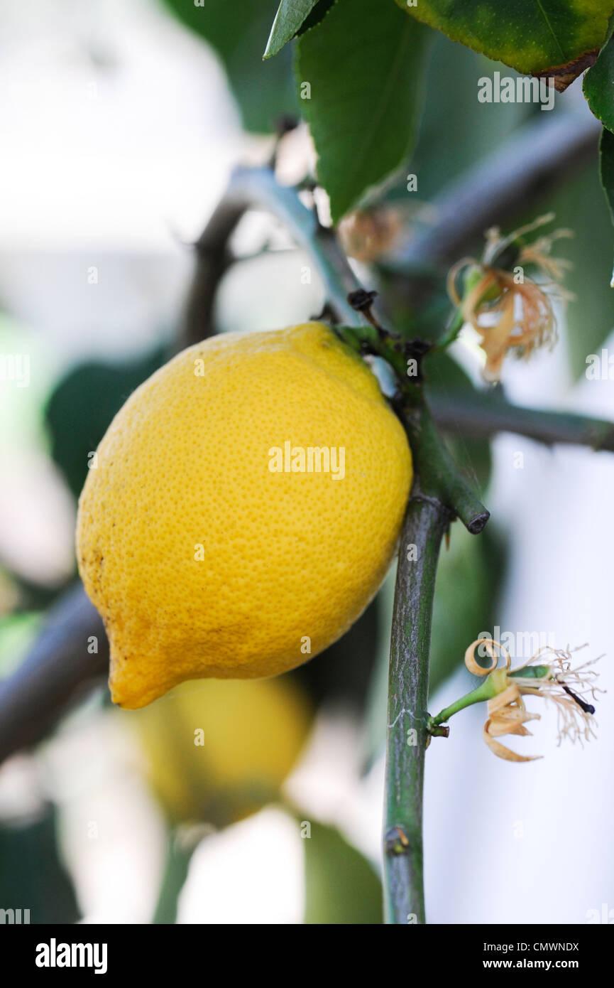Citrus limon 'four seasons' . Lemon fruit on tree at RHS Wisley gardens, Surrey, UK Stock Photo