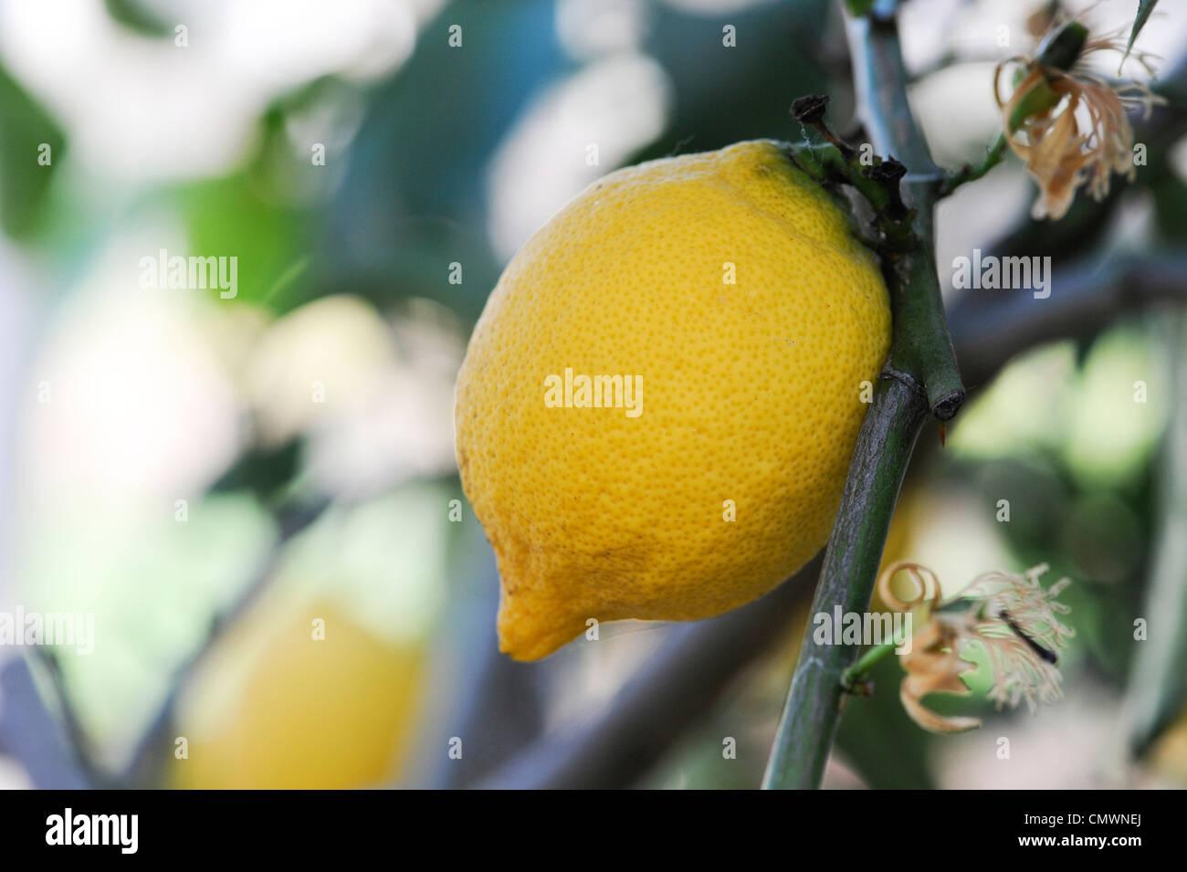 Citrus limon 'four seasons' . Lemon fruit on tree at RHS Wisley gardens, Surrey, UK - Stock Image