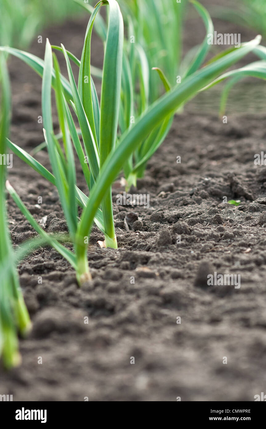 Young garlic plants in the field, agricultural background - Stock Image