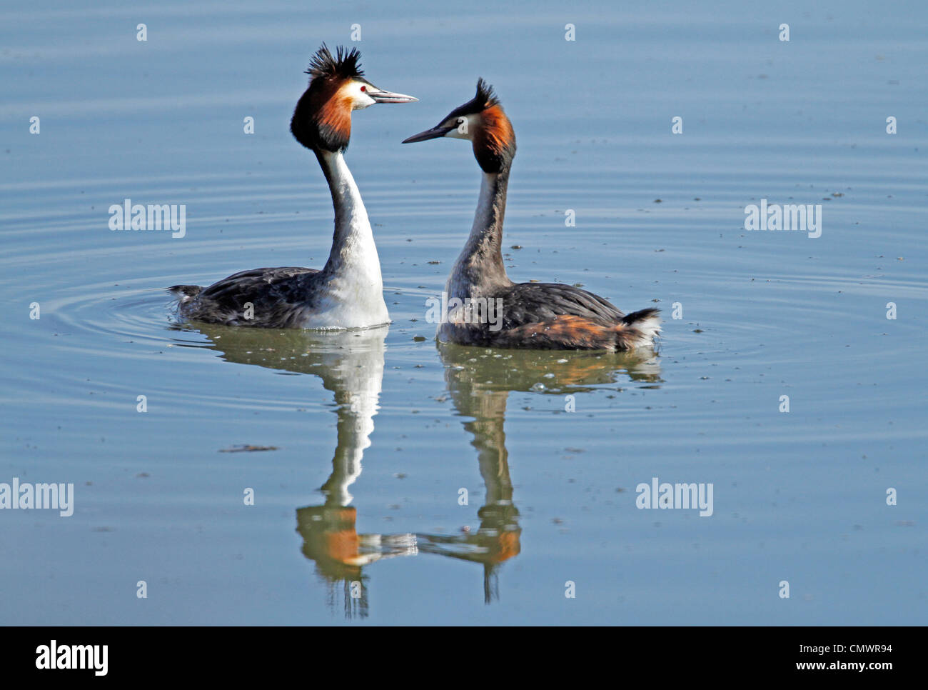 Great Crested Grebe (Podiceps cristatus) - Stock Image