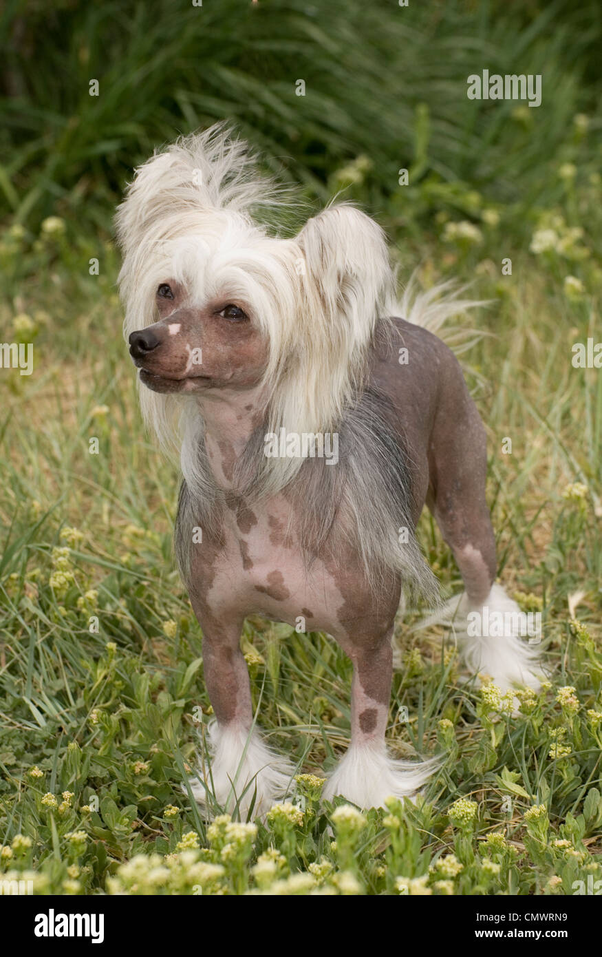 Chinese Crested standing - Stock Image