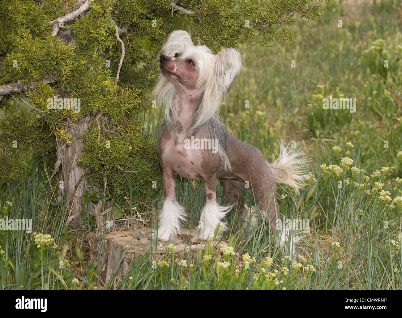 Chinese Crested standing on stump - Stock Image