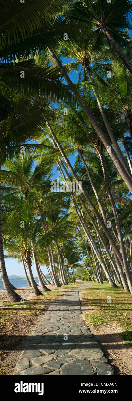 Coconut palms along beachfront at Palm Cove, Cairns, Queensland, Australia - Stock Image