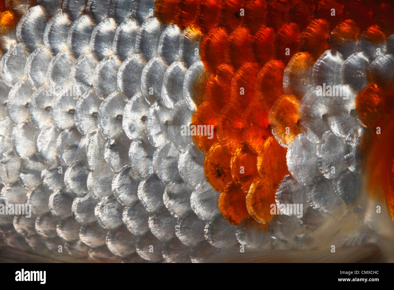 Extreme close up of fish scales - Stock Image