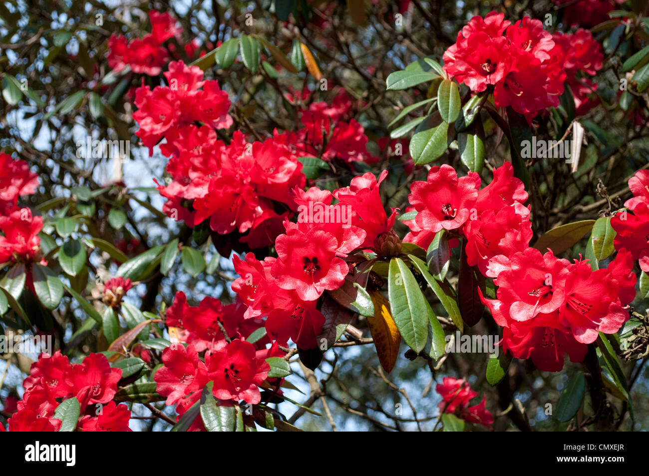 Rhododendron (arboreum x haematodes) 'Choremia Tower Court' - Stock Image
