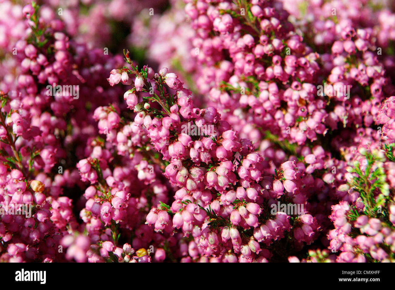 Detail of pink flowers at the market. - Stock Image