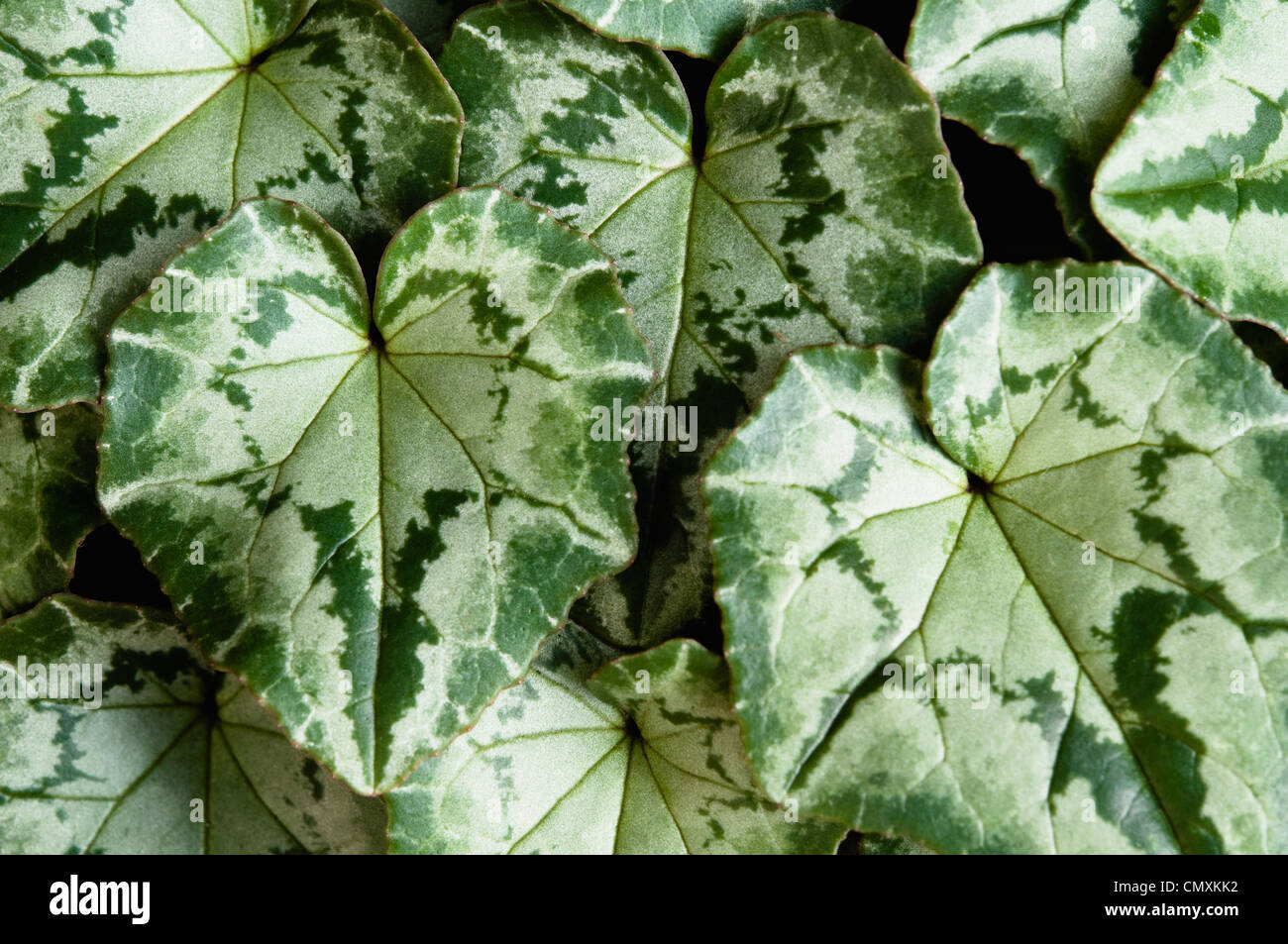 A close up view of the attractive foliage / green marbling pattern of cyclamen leaves. (Cyclamen hederifolium) - Stock Image