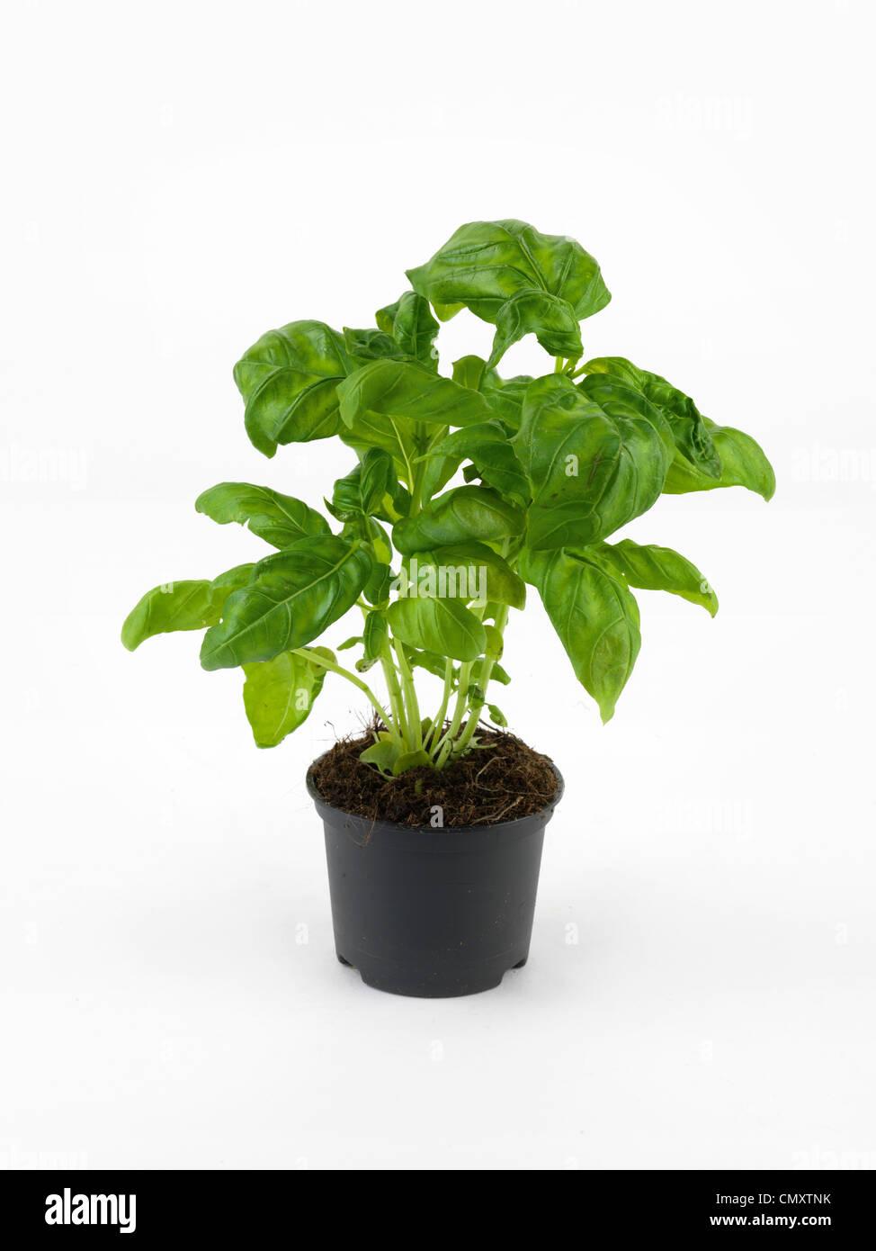 Basil, Basil plant - Stock Image