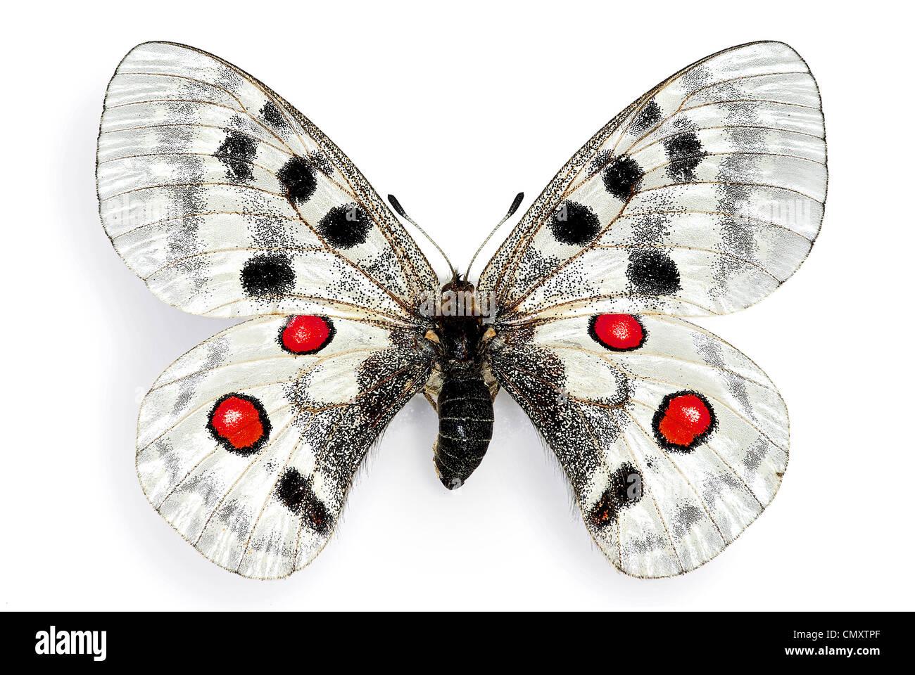 Apollo (Parnassius apollo), an endangered european butterfly - Stock Image