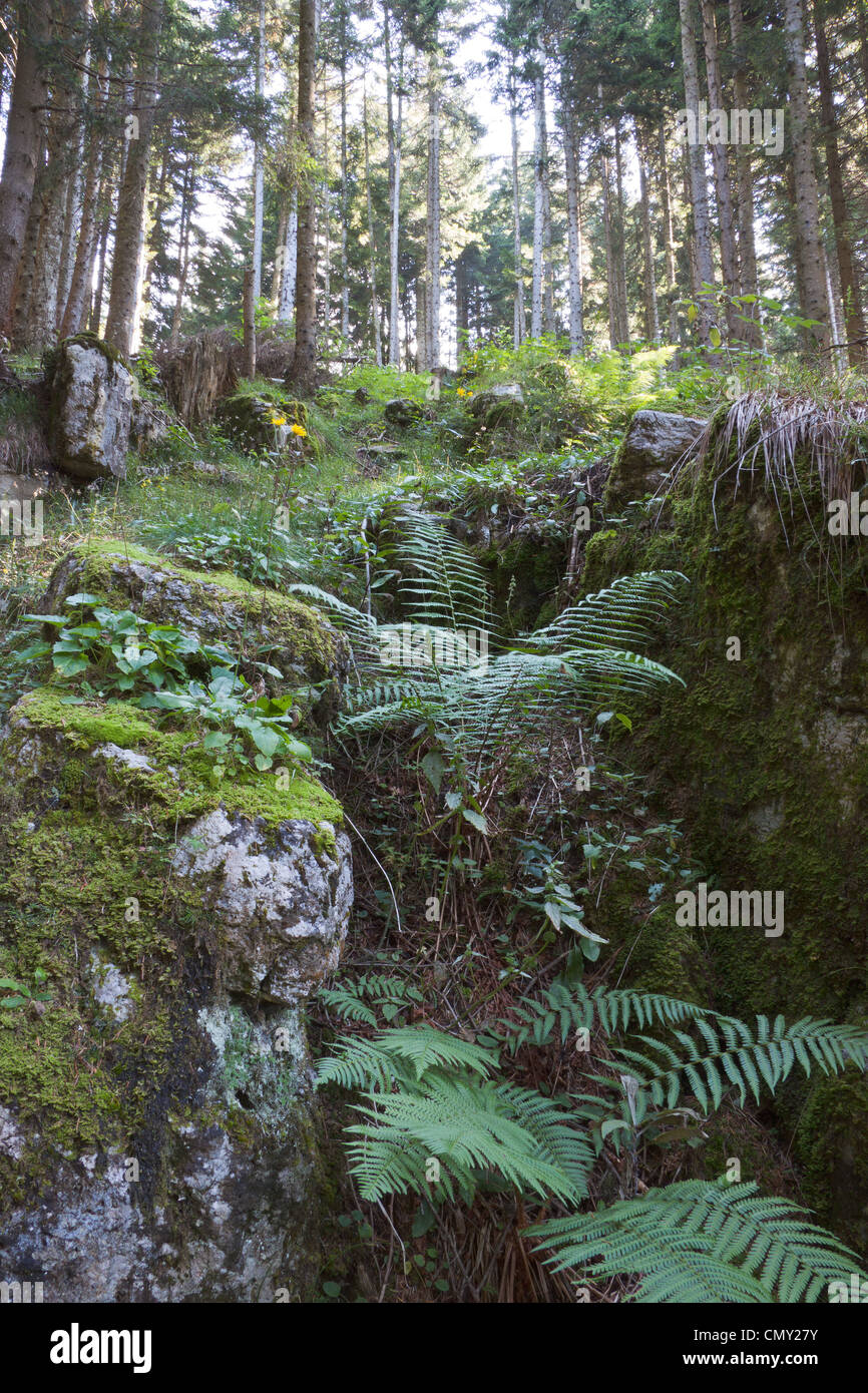 Conifers and ferns in the heart of a wood on the plateau of Asiago. - Stock Image