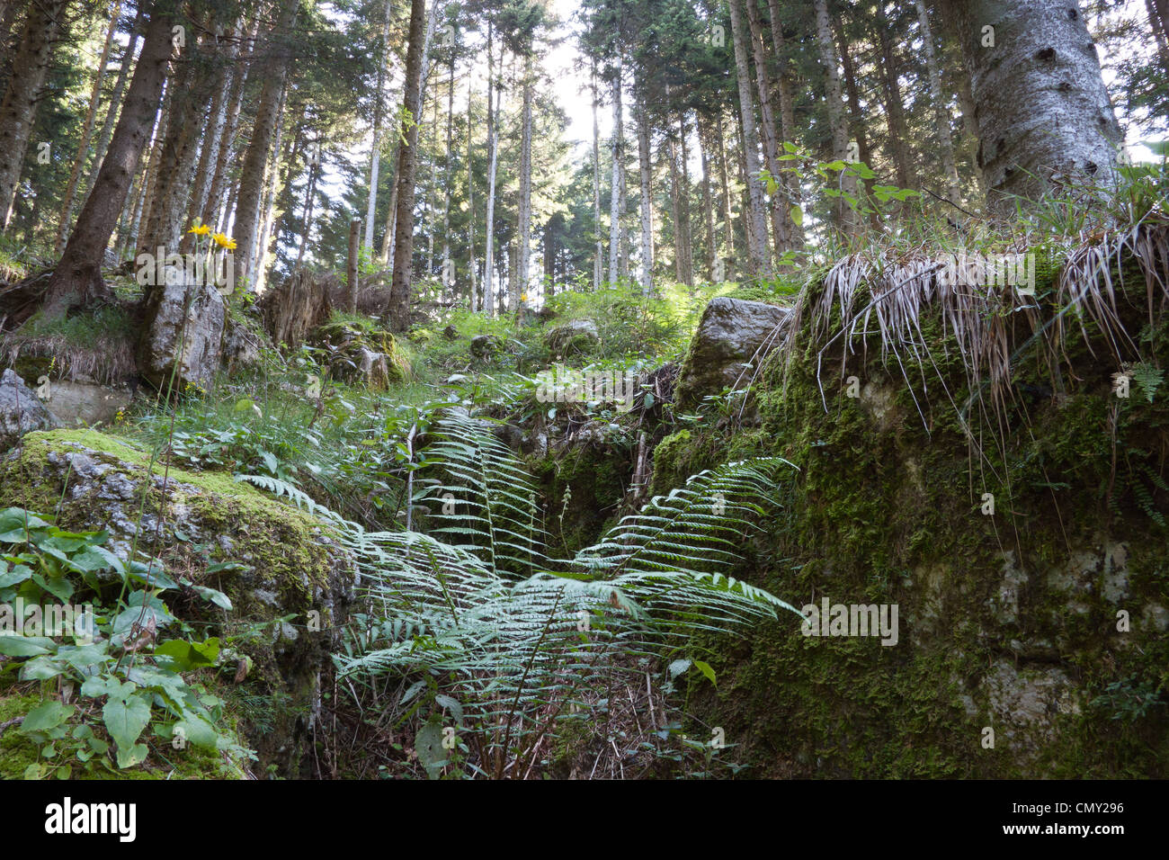 Conifers and ferns in the heart of a wood on the plateau of Asiago. Stock Photo