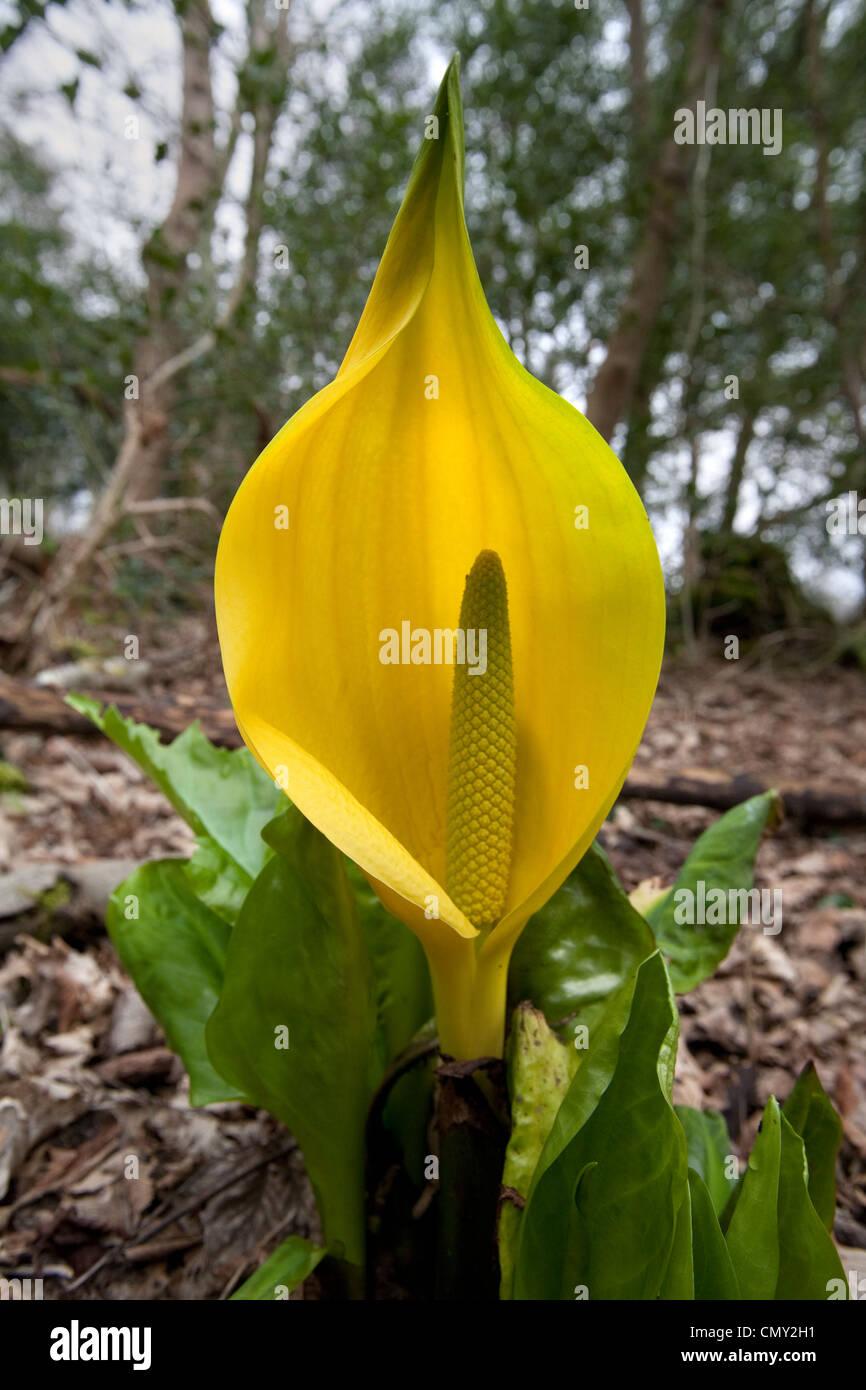 Lysichiton Americanus Yellow Skunk Cabbage Flower Stock Photo