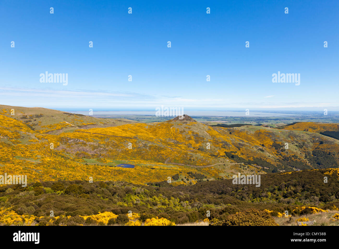 Gorse on the Port Hills, Banks Peninsula, Canterbury, New Zealand. - Stock Image