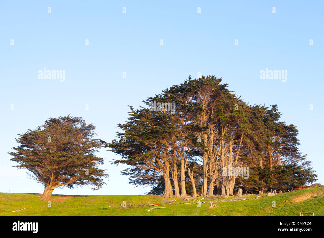Cupressus Macrocarpa, Monterey Cypress, growing in New Zealand, where it is often used for shelter belts. - Stock Image