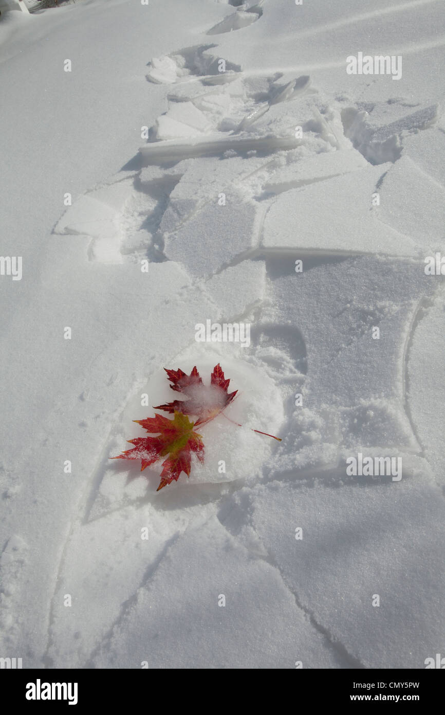 Canadian maple leaves of autumn caught frozen in winter. - Stock Image
