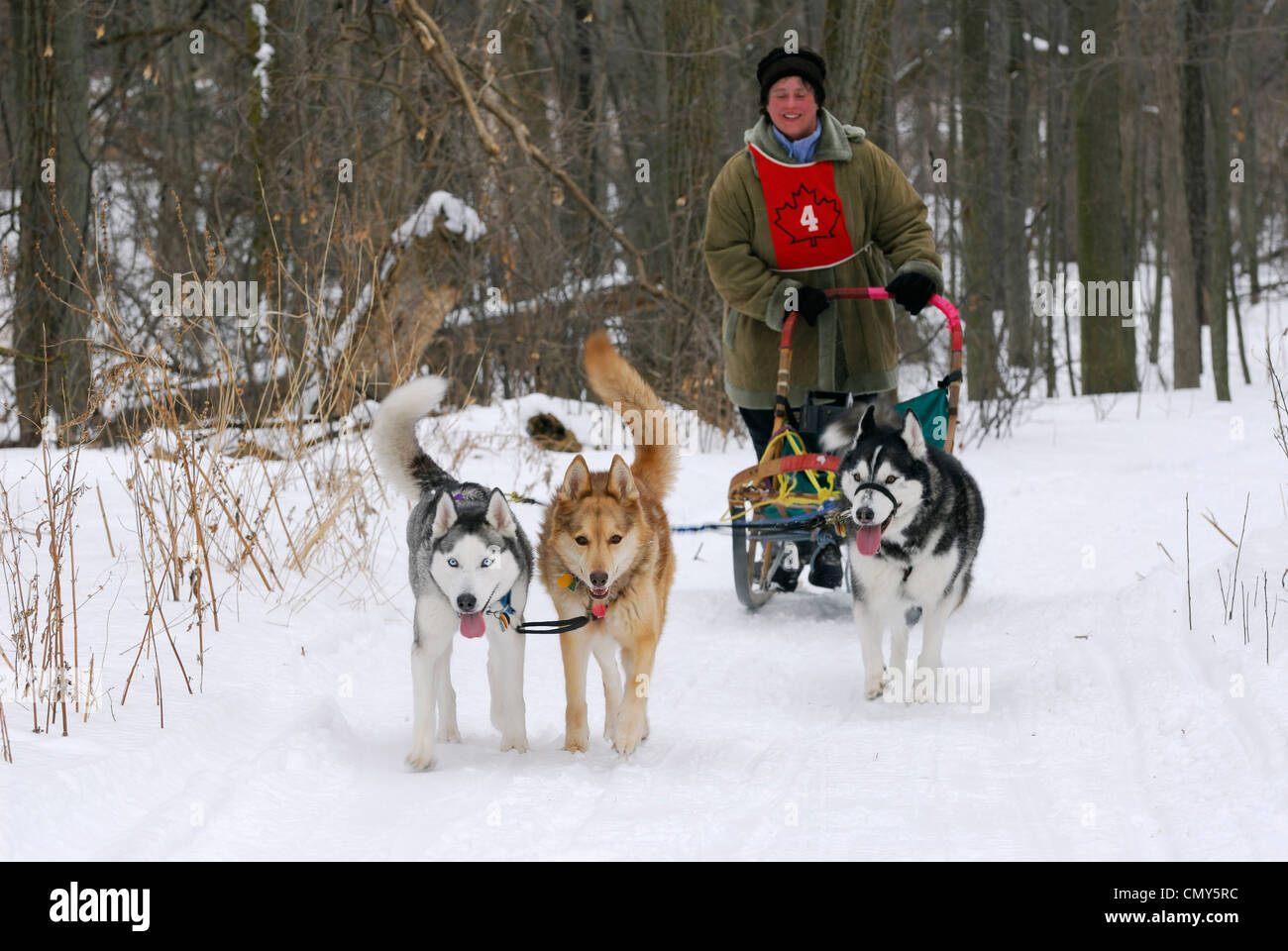 Female recreational dog sleder mushing on snowy forest trail in Canada - Stock Image
