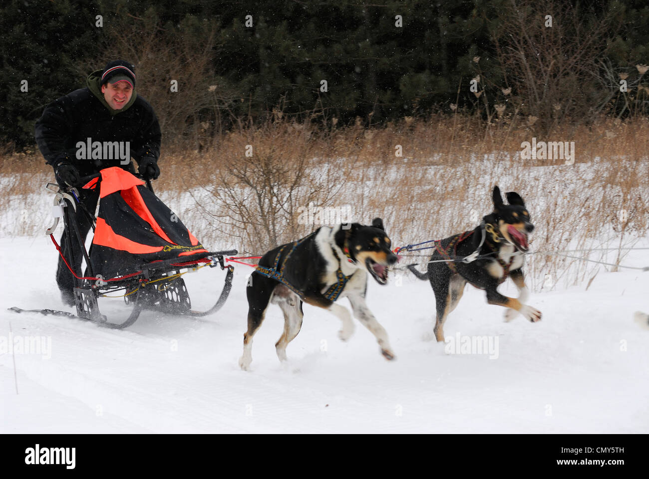 Sled racer with two powerful pull dogs racing in the snow Ontario - Stock Image