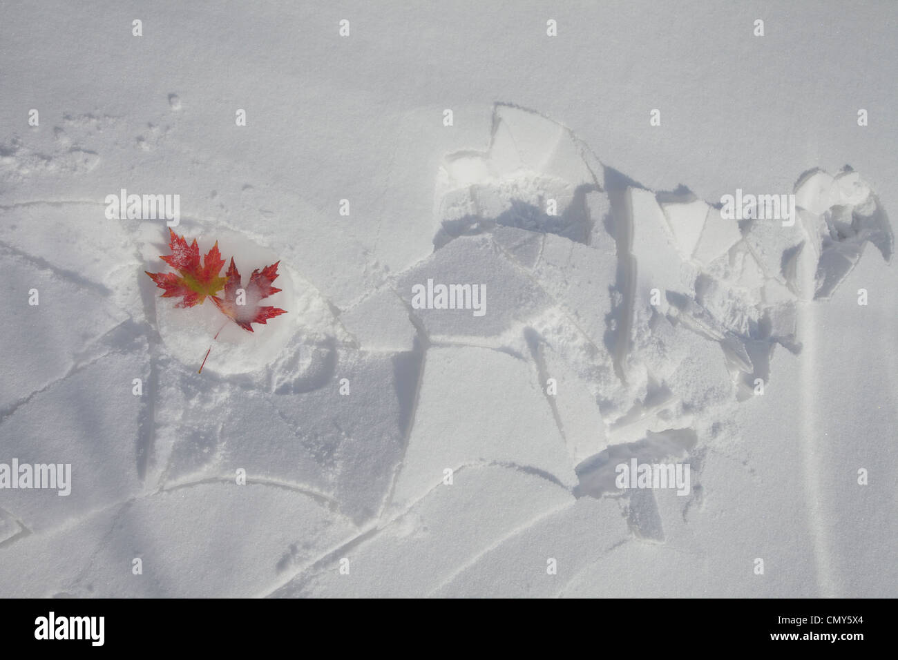Canadian maples leaves of autumn caught frozen in ice and snow in winter. - Stock Image