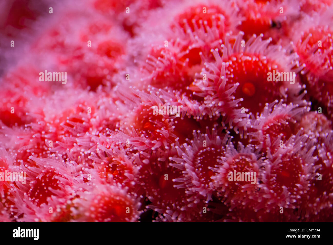 Red sea anemone close up - Stock Image