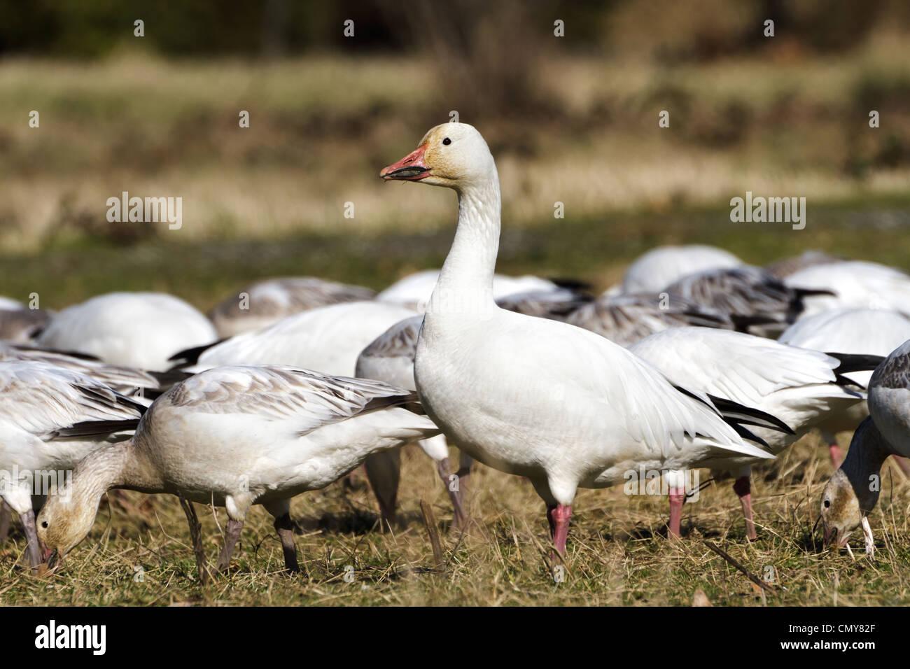 Snow Goose, migratory bird close up shot - Stock Image