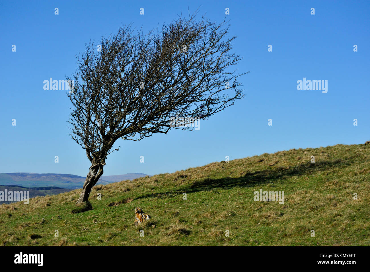 Wind distorted hawthorn tree. Hampsfell. Grange-over-Sands, Cumbria, England, United Kingdom, Europe. - Stock Image