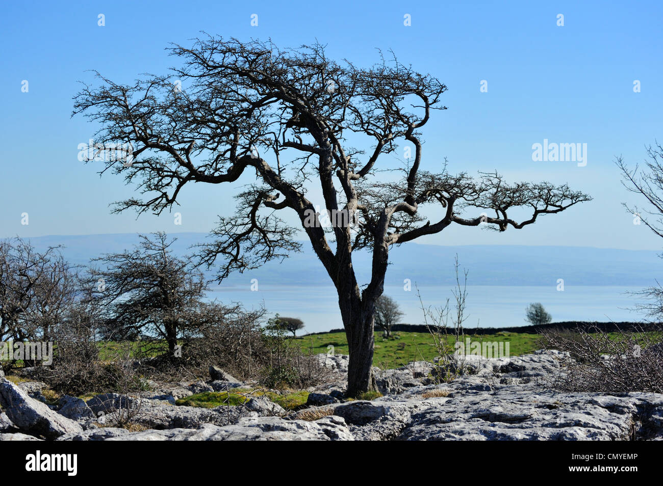 Wind distorted hawthorn tree and limestone pavement. Hampsfell. Grange-over-Sands, Cumbria, England, United Kingdom, - Stock Image